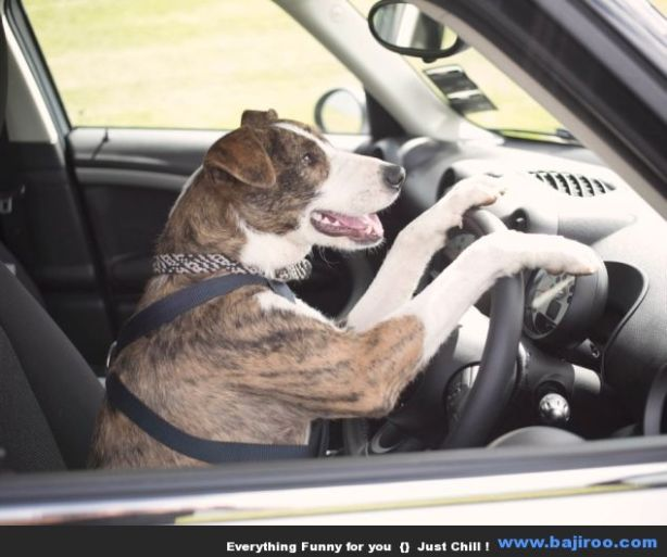 driving-dog-funny-images-animal-funny-pictures-photo-gallery-by-bajiroo
